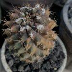 C. tenuissima variegated